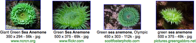 sea_anemone_green-google_images